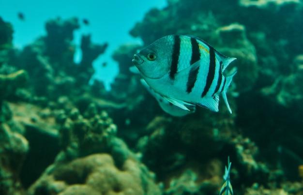 Exotische vissen in een aquarium aan de rode zee, zwemmend tussen koralen