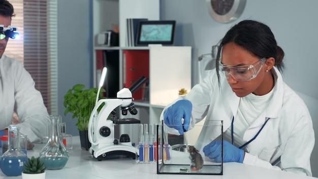 Experimenteren met laboratoriummuis: vrouwelijke wetenschapper van gemengd ras die pipet gebruikt om vloeistof in de container te laten vallen