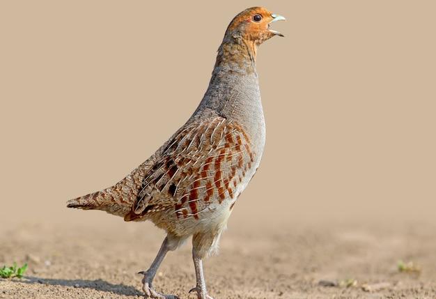 Extra close-up portret mannelijke grijze partridg zingen. mooie onscherpe achtergrond en zacht ochtendlicht. de identificatietekens van de vogel en de structuur van de veren zijn duidelijk zichtbaar.