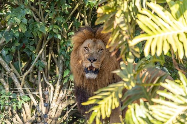 Extreme close-up in leeuw in het bos
