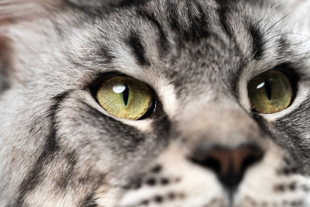 Extreme close-up portret van makreel tabby maine coon cat met grote ogen op zoek