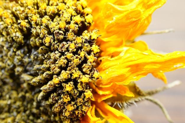 Extreme close-up shot van een gedroogde zonnebloem
