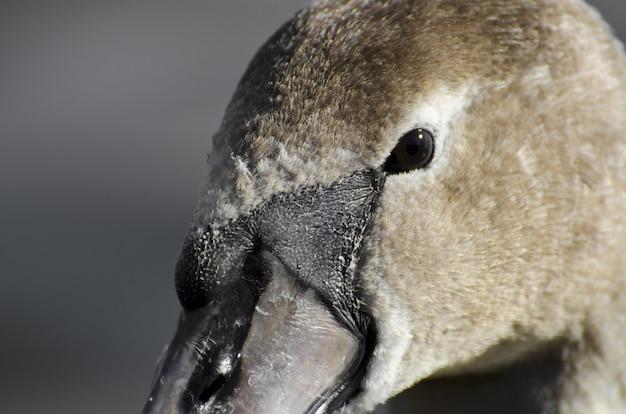 Extreme close-up van het hoofd van een zwaan