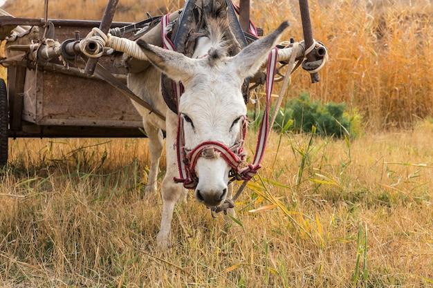 Ezel eet droog gras in de wei ezelkop