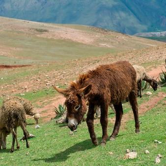 Ezel en schapen die op het gebied, heilige vallei, het gebied van cusco, peru weiden
