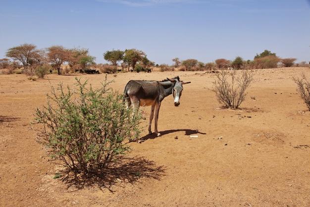 Ezel in de sahara woestijn