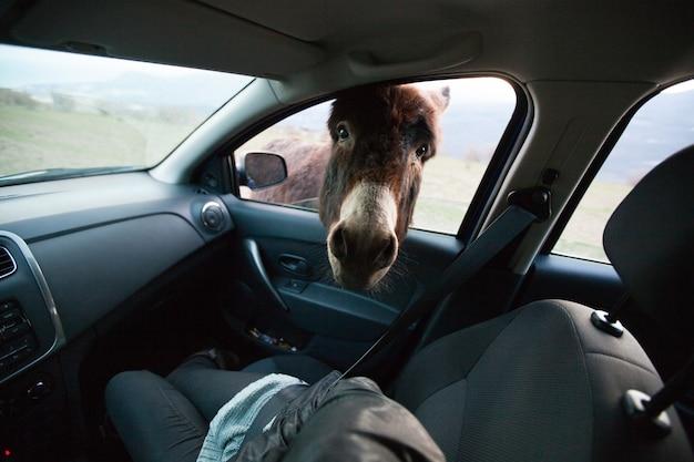 Ezel met grote oren en een schattig gezicht kijken in het raam van de auto, een close-up portret. portret van bruine ezel