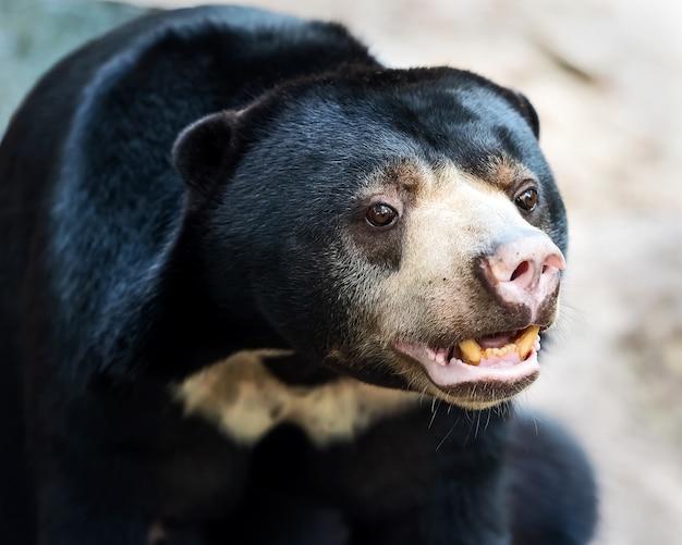 Face at sun bear