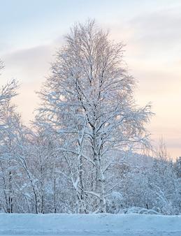 Fairytalezonsondergang in de winterbos met berkboom