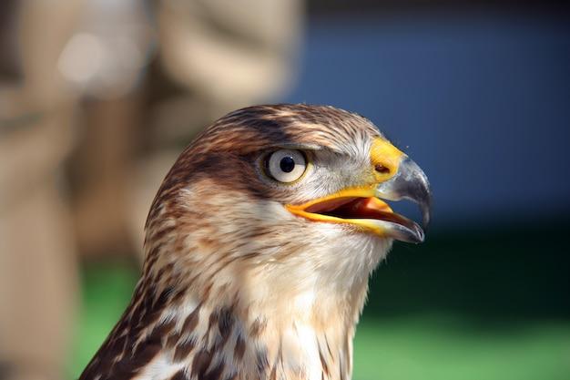 Falcon van dichtbij
