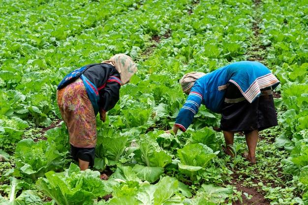 Famer houdt en snijdt chinese kool in de boerderij