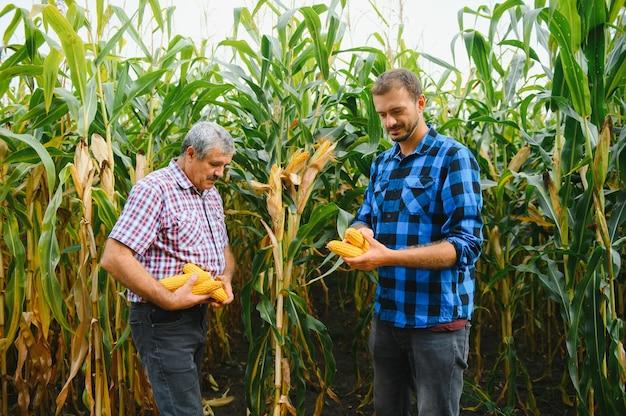 Familie agrobusines, boeren staan in een maïsveld, kijkend en wegwijzend, ze onderzoeken corp bij zonsondergang