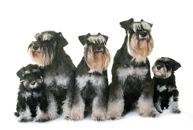 Familie miniatuur schnauzer