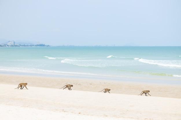 Familie monkey dier wandelen op het zandstrand van de zeekust in het zomerseizoen.