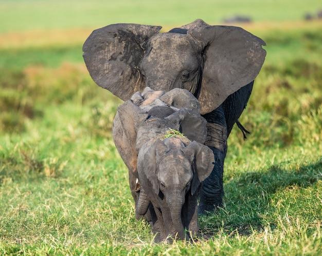 Familie olifanten op de savanne gaan rechtstreeks naar de fotograaf.