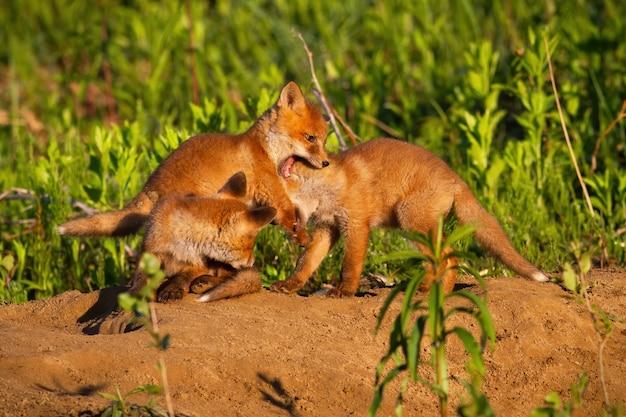 Familie rode vos spelen op hol in de natuur van de lente