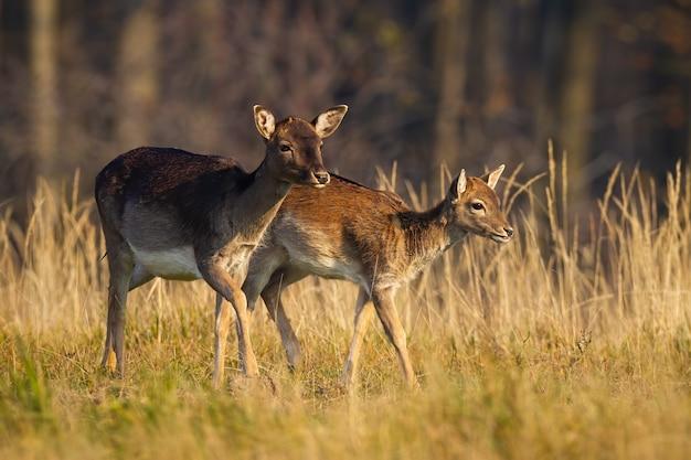 Familie van damherten lopen op veld in de herfst natuur