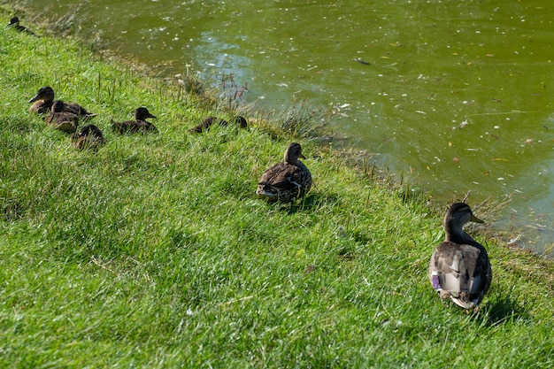 Familie van eenden die op gras zitten