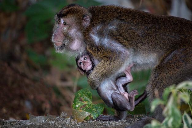 Familie van langstaartmakaak (macaca fascicularis) moeder en baby