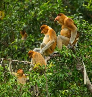 Familie van neusapen zit in een boom in de jungle. indonesië. het eiland borneo.kalimantan.