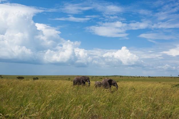 Familie van olifanten gaat op safari in een olifantenfamilie met hoog gras