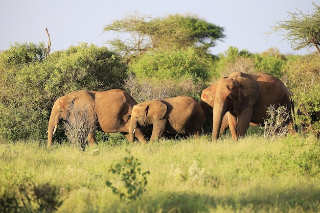 Familie van olifanten in tsavo east national park, kenia, afrika