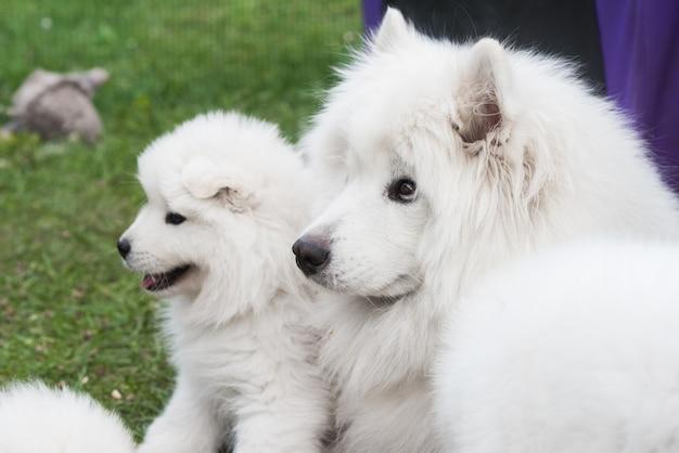 Familie van samojeed-honden samojeed-puppy en volwassene