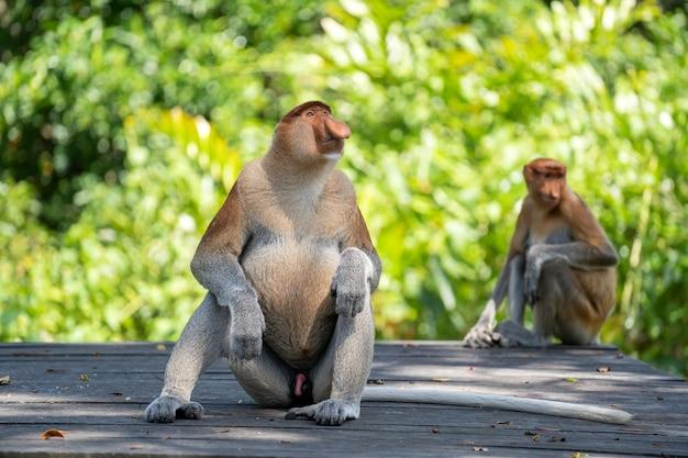 Familie van wilde proboscis aap of nasalis larvatus, in het regenwoud van het eiland borneo, maleisië, close-up. geweldige aap met een grote neus.