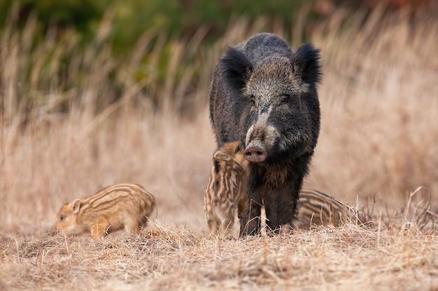 Familie van wilde zwijnen die zich op weide in de herfstaard bevinden