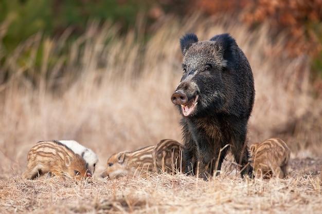 Familie van wilde zwijnen grazen op droog veld in de herfst natuur