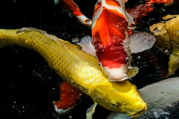 Fancy carp of mirror carp woont in een waterval.