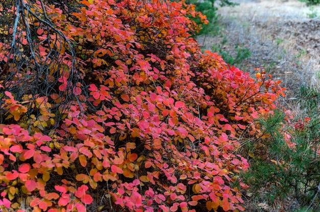 Fantasielandschap van helder rood en gouden bos met rookstruik of cotinus coggygria, in de herfst