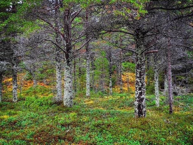 Fantastisch noordelijk bos. bomen bedekt met mos. natuurlijke achtergrond. diep bos op het kola-schiereiland. rusland.