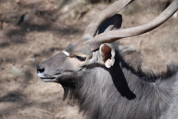 Fantastische kijk op een nyala-bok met spiraalvormige hoorns.