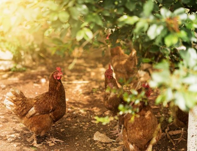 Farm life concept met kuikens