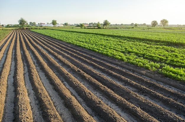 Farm veld geplant landschap van aardappelen en wortelen een leeg gezaaid gebied met ruggen