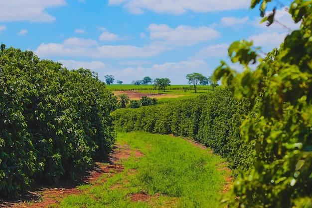 Farme van koffie-industrie