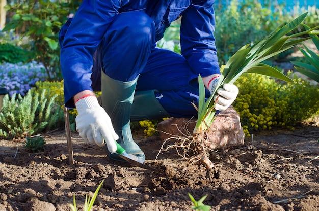 Farmer's handen planten een iris met behulp van schop