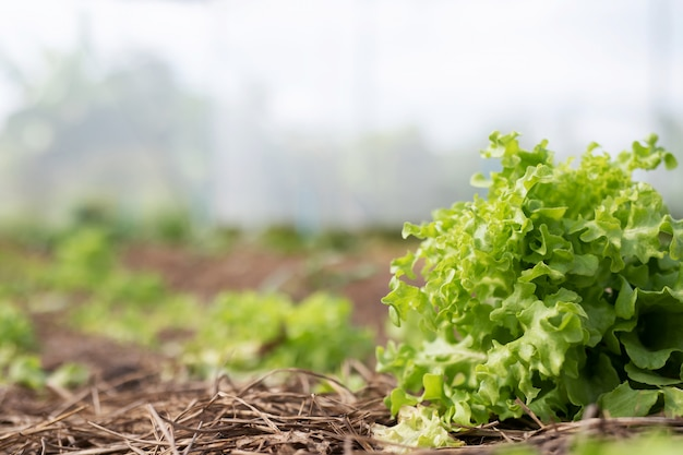 Farming organic green oak lettuce moestuin bladeren op het plantperceel in het ochtendlicht.