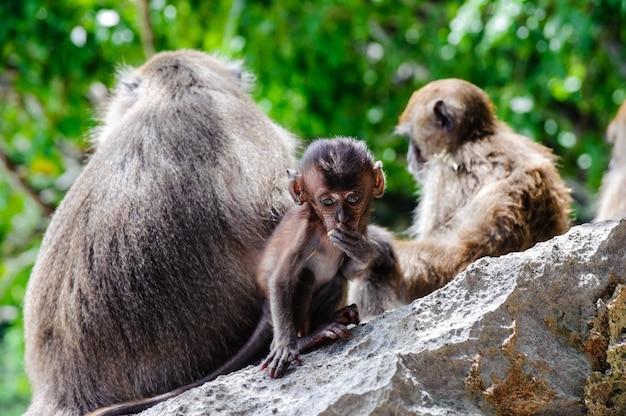 Fascicularis die van welpmacaca op een rots zitten en eten. babyapen op de phi phi-eilanden, thailand