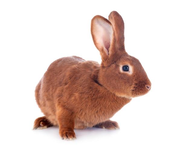 Fauve de bourgogne konijn