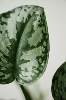 Faux watermeloen peperomia achtergrond kamerplant