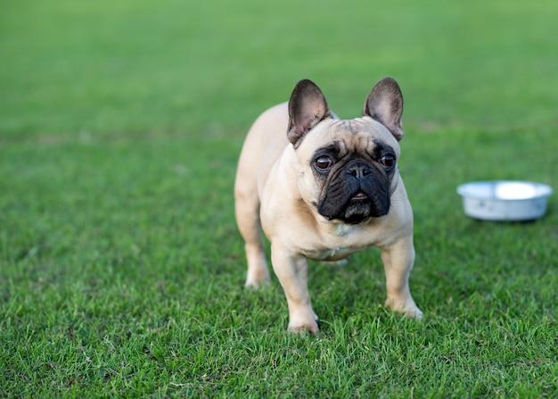 Fawn franse bulldog uit voor een wandeling op het groene gras in de zomer