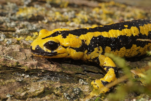 Felgeel gekleurde salamandra bernardezi op het houten oppervlak