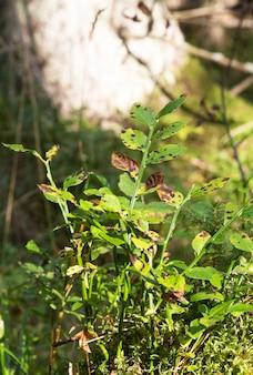 Felgekleurde bladeren van moerasbosbes, vaccinium uliginosum, tegen fel zonlicht na regenval in de finse natuur