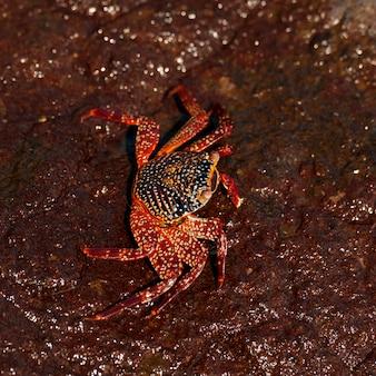 Felgekleurde sally lightfoot-krab (grapsus grapsus) op een rots, tagus cove, isabela island, galapagos-eilanden, ecuador