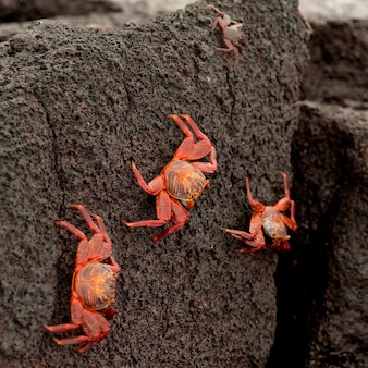 Felgekleurde sally lightfoot-krabben (grapsus grapsus) bij het oplopen van rotsen, punta espinoza, fernandina island, galapagos-eilanden, ecuador