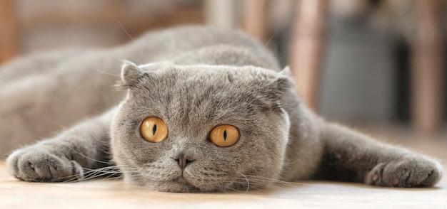 Felis catus sfs ligt op de bank en mist.