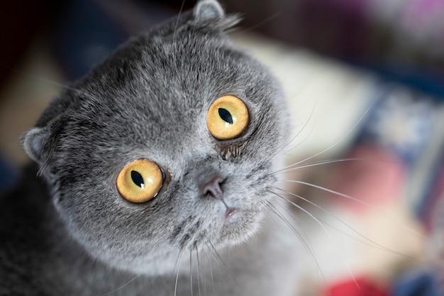 Felis catus sfs scottish fold kat, portret, liggend op de bank en vermist. close-up, zachte focus