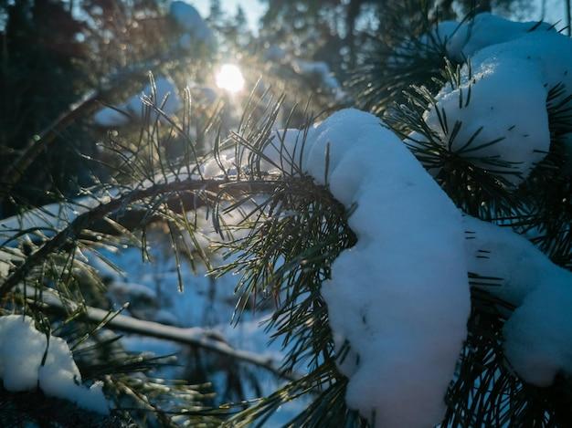 Felle zon schijnt door de groene naalden van dennentakken bedekt met sneeuw na een sneeuwval op een